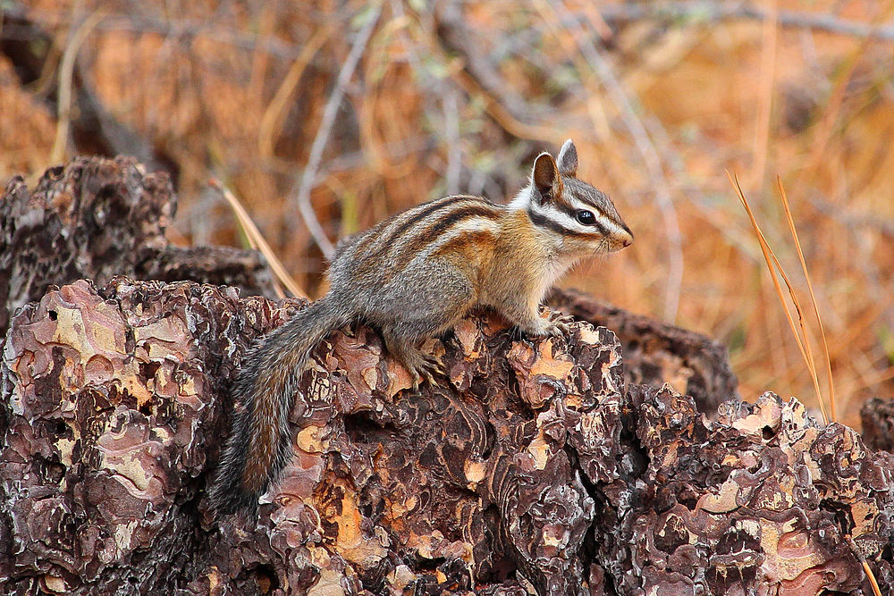 The average litter size of a Long-eared chipmunk is 5