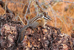 Long-eared Chipmunk.jpg