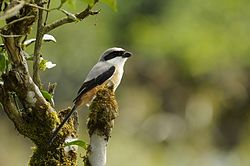 Long-tailed Shrike Anamalai.JPG