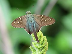 Long-tailed Skipper (30591008495).jpg