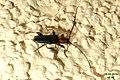 Longhorn beetle (NH266) (28287416675).jpg