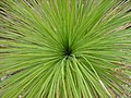 Looking into a grass tree - panoramio.jpg