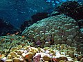 Looking up the reef, shallow take 3 - note the lovely pink corallines (6158468967).jpg