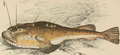 Lophius piscatorius Fr.png