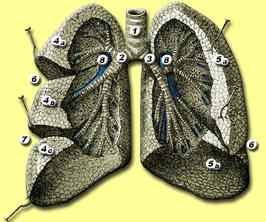 1. luchtpijp (trachea) 2. rechter bronchus 3. linker bronchus 4. rechter long (pulmo dexter): bovenste (4a), middenste (4b) en onderste (4c) longlob 5. linker long (pulmo sinister): bovenste (5a) en onderste (5b) longlob 6. fissura obliqua 7. fissura horizontalis 8. arteria pulmonalis