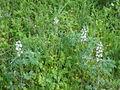 Lupinus albus wild Italy.JPG