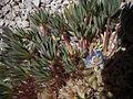 Lupinus sp. from 5000 meters elevation. (8432708877).jpg