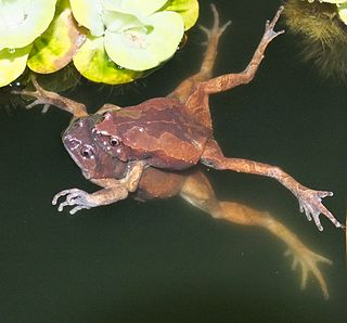 Luzon narrow-mouthed frog species of amphibian