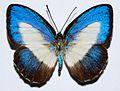 Lycaenid Butterfly (Danis perpheres) female (8420222614).jpg