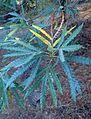 Lyonothamnus floribundus kz4.jpg