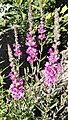 Lythrum salicaria L.-1F.jpg