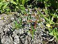 Lythrum tribracteatum sl2.jpg