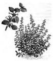 Mélisse citronnelle Vilmorin-Andrieux 1883.png