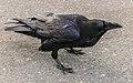 MK04400 Raven (Jasper National Park).jpg