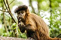 Macaco-prego no Parque Ecológico Itapemirim.jpg