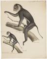 Macacus silenus - 1818-1842 - Print - Iconographia Zoologica - Special Collections University of Amsterdam - UBA01 IZ20000097.tif