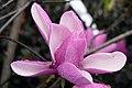Magnolia Jane 8zz.jpg