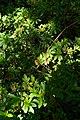 Magnolia sprengeri, Conservatoire botanique national de Brest 03.jpg