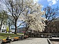 Magnolia tre i Hydroparken, Oslo, Norway (2021.04.27).jpg