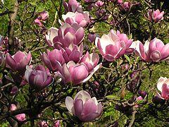 Magnolia Soulangeana Wikipedia