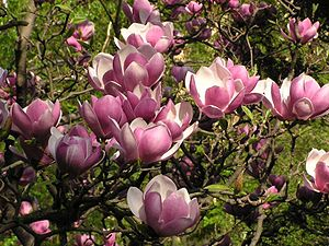 Magnolia - Wikipedia, the free encyclopedia