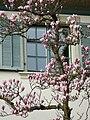 Magnolia x soulangeana Dornbirn 1.jpg