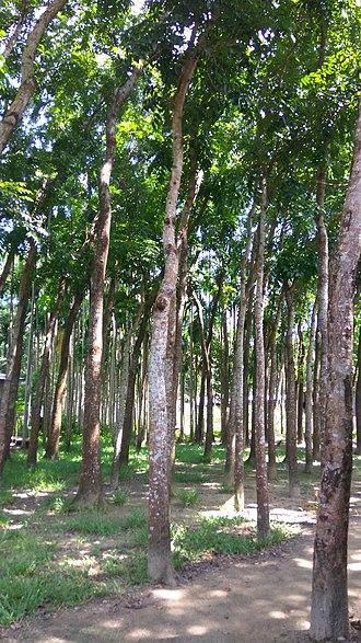 Swietenia macrophylla - Image: Mahogany trees in Bangladesh