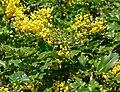 Mahonia pinnata ssp insularis 2.jpg