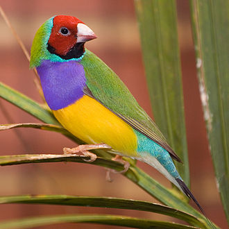 Gouldian finch - Adult red-headed male