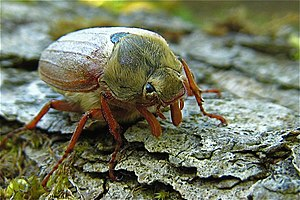 English: Malham Tarn: Cockchafer beetle Chafer...