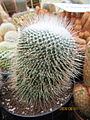 Mamillaria (unknown) (3779412972).jpg