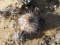 Mammillaria hutchisoniana (5782067375).jpg
