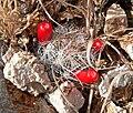 Mammillaria tetrancistra 4.jpg