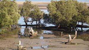 Madagascar mangroves - Mangroves, between Ifaty and Belalanda