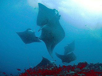 Manta ray - M. alfredi group in the Maldives