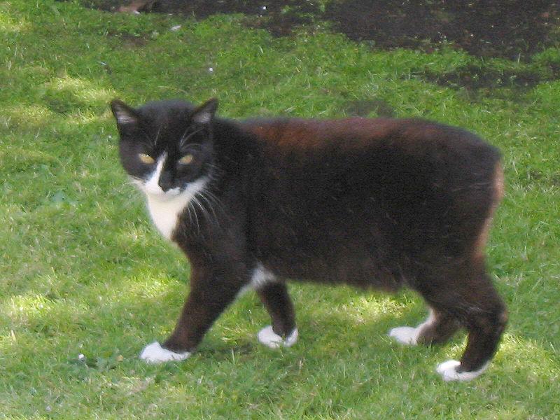 Gato Manx negro con blanco