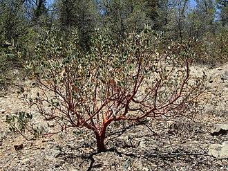 Manzanita - A Manzanita bush.