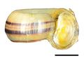 Marisa cornuarietis shell 2.png