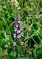 Marsh Woundwort (Stachys palustris) - geograph.org.uk - 209118.jpg