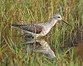 Marsh sandpiper 2.jpg