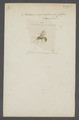 Masaris - Print - Iconographia Zoologica - Special Collections University of Amsterdam - UBAINV0274 044 01 0011.tif
