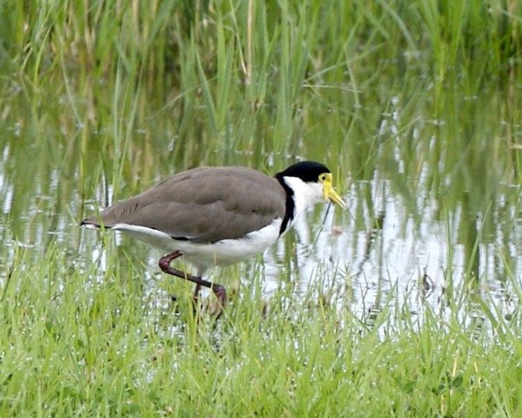 File:Masked Lapwing (Vanellus miles) - Flickr - Lip Kee (3).jpg