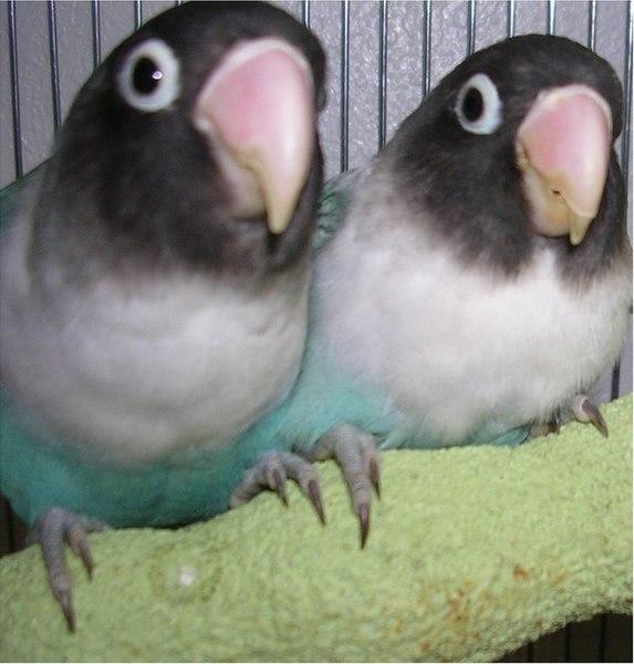 Ficheiro:Masked Lovebird (blue mutant).jpg