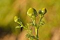 Matricaria discoidea - lõhnav kummel Keilas.jpg