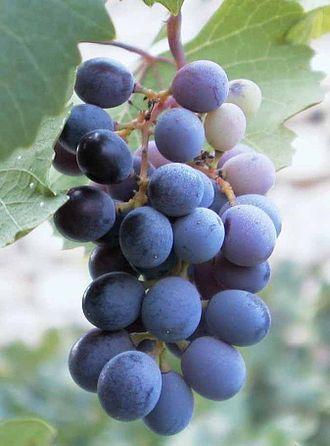 Mavro - Mavro grapes