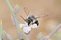 Megachile nigrita male 1.jpg