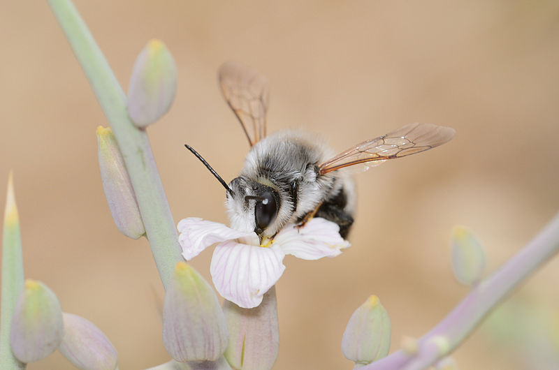 File:Megachile nigrita male 1.jpg