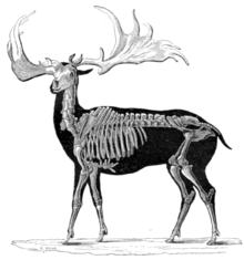 Irish elk - Wikipedia