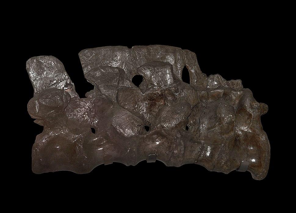 Megalosaurus sacrum (39971421271)