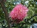 Melaleuca elliptica.jpg
